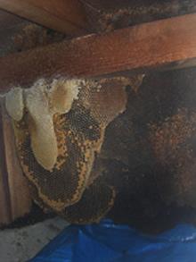 床下のミツバチの巣