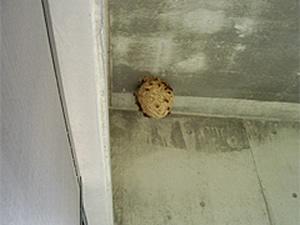 1.スズメバチの巣駆除前