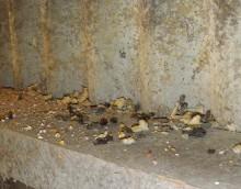 ネズミの糞